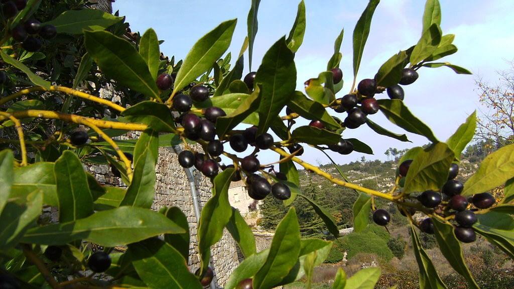 Hariliku loorberipuu oks marjadega